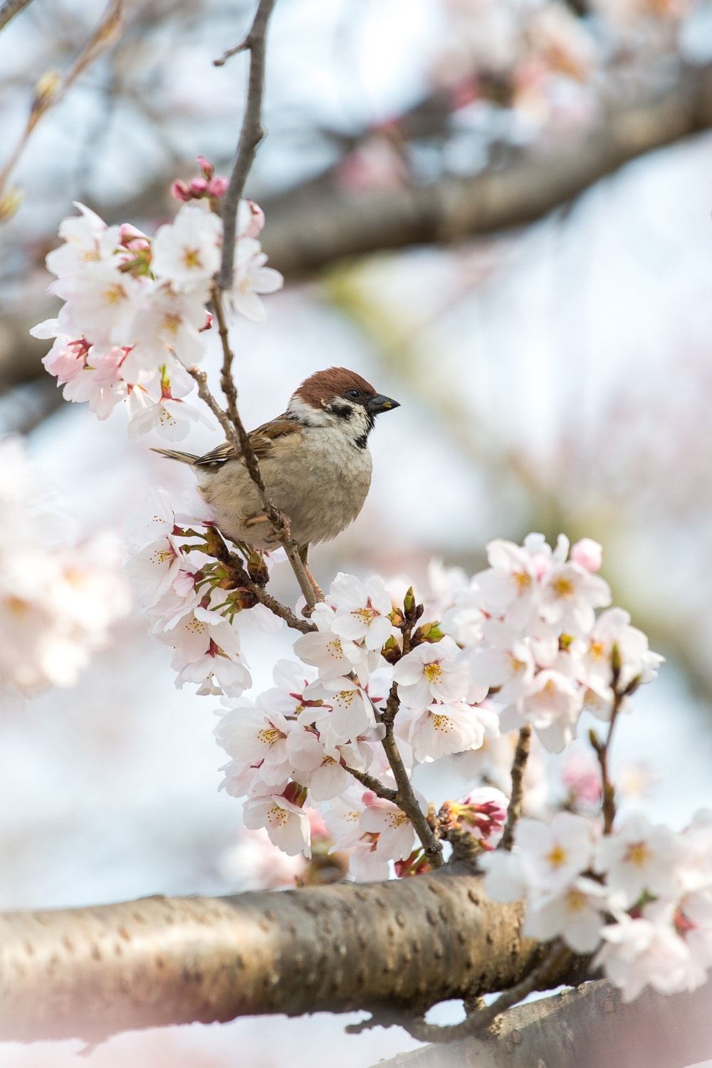 Sparrow and cherry blossoms on the Path of Philosophy in Kyoto, Japan