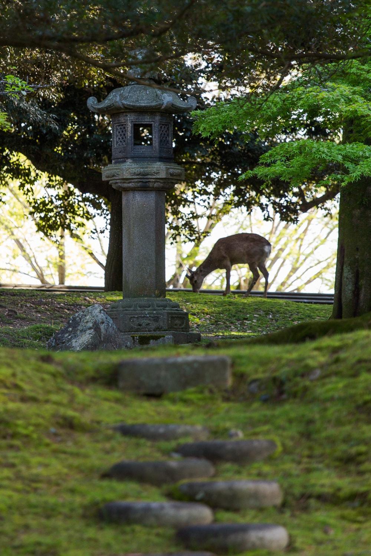 Nara deer and traditional lantern