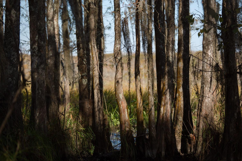Swamp trees in Louisiana