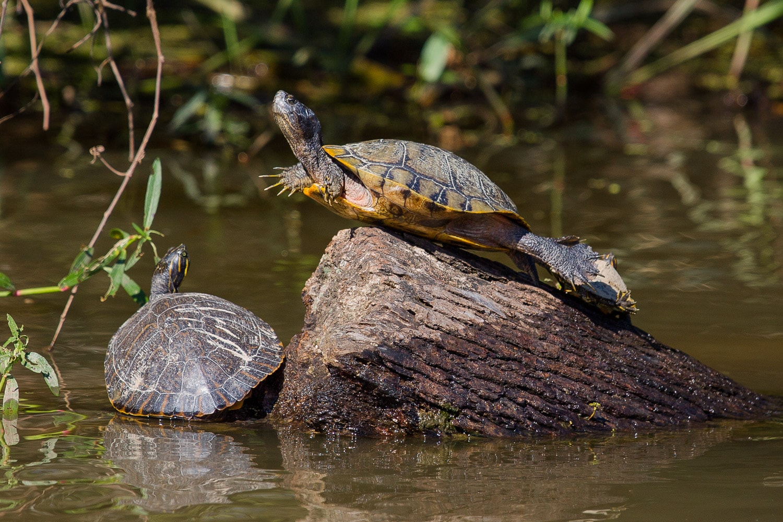 Turtle sunbathing on the swamp