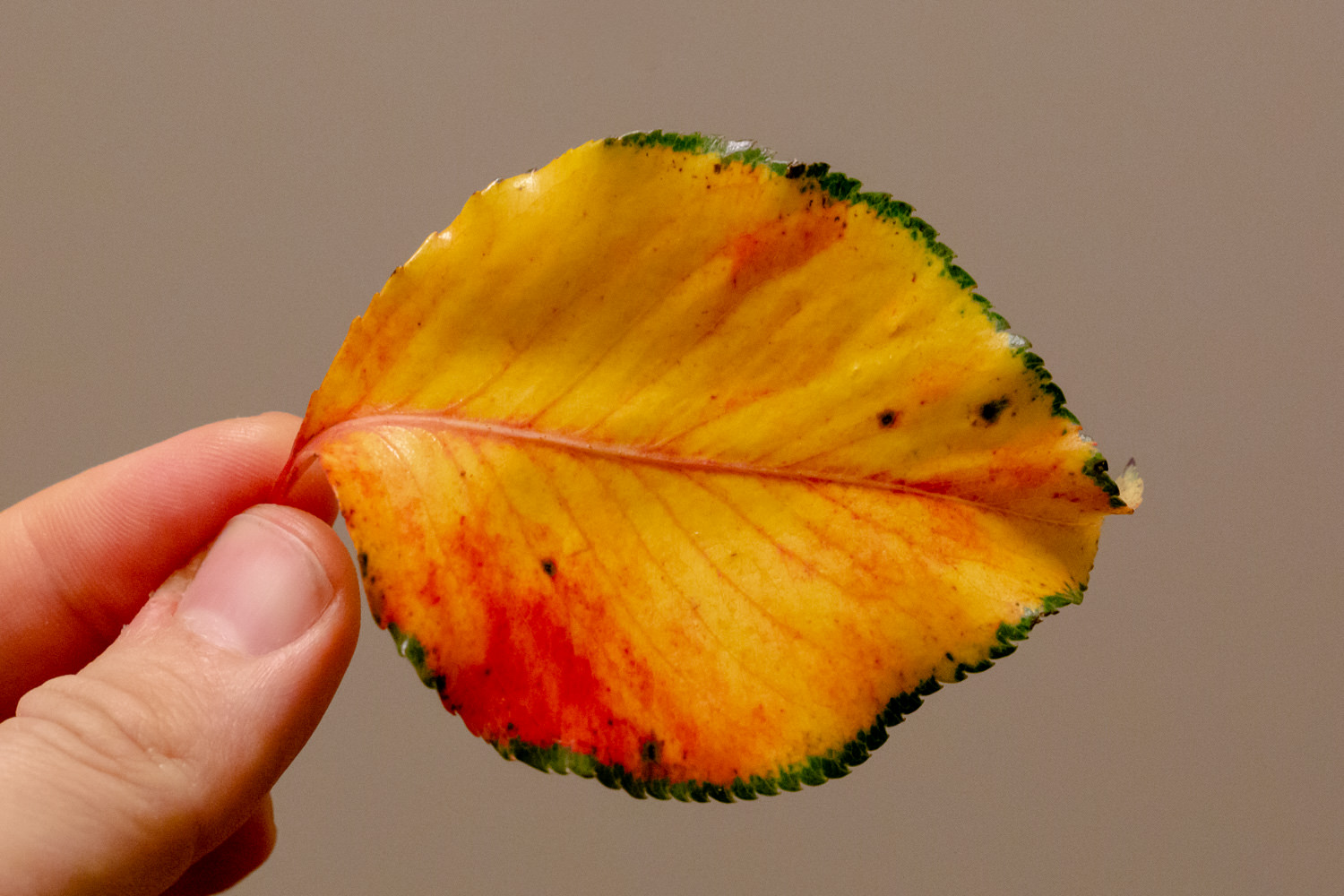 Random autumn leaf (November 2018)