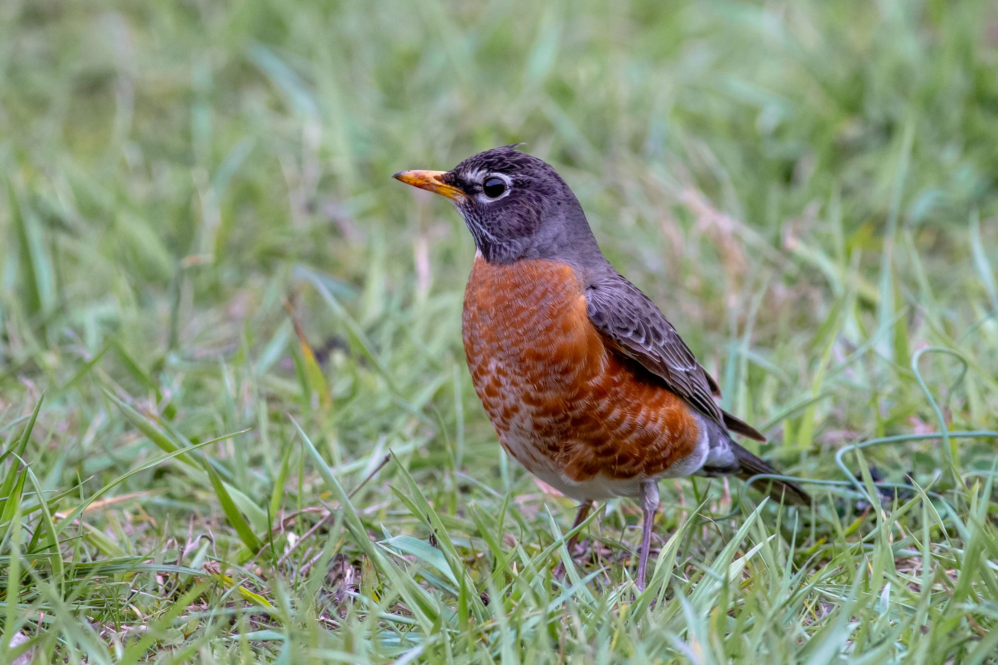American Robin at Great Smoky Mountains National Park