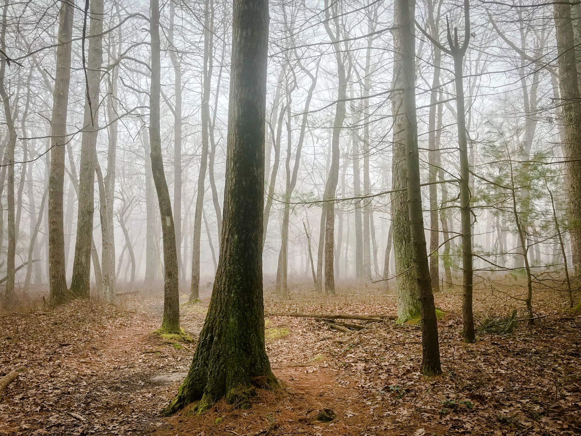 Misty trees along the Appalachian Trail near Biglerville, Pennsylvania